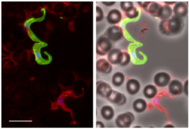 VSG switching in trypanosomes